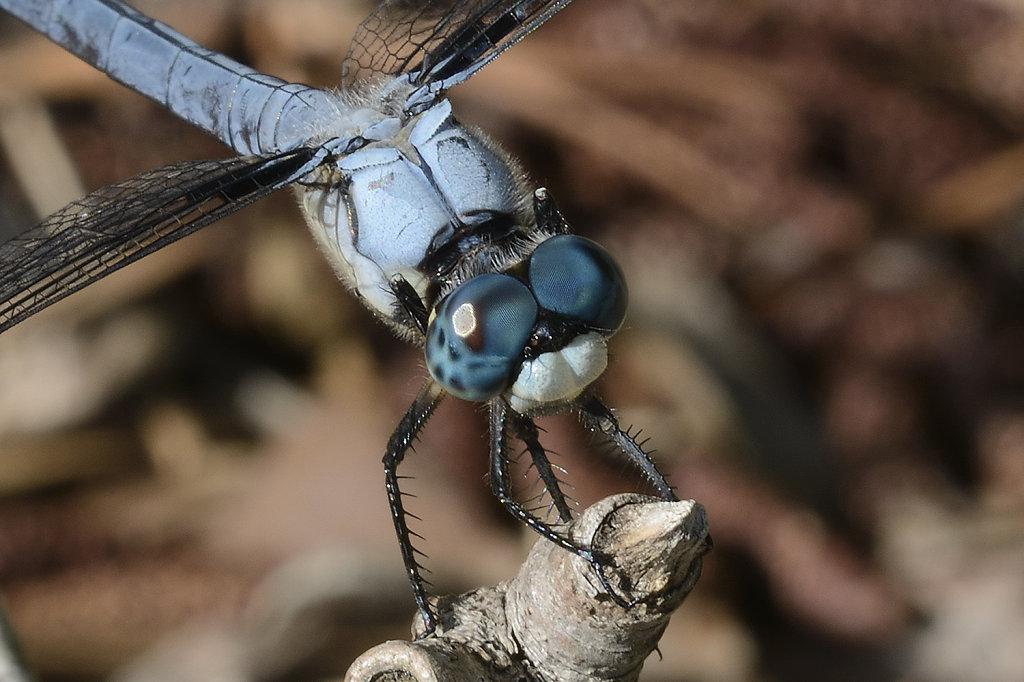 bluedragonfly-0805closeweb.jpg