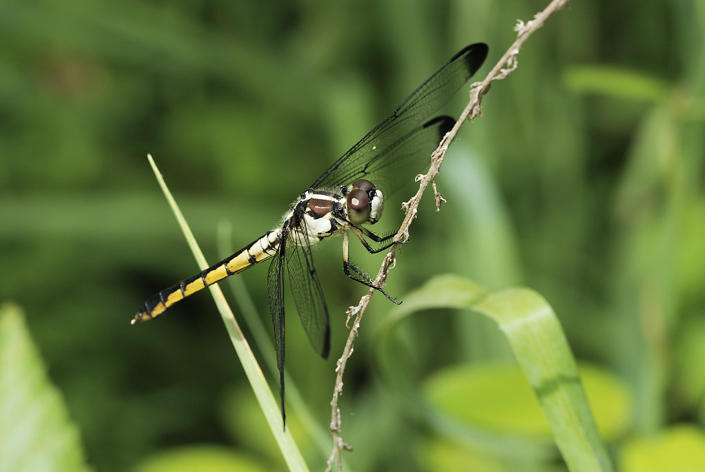 blackyellowdragonfly-9377web.jpg