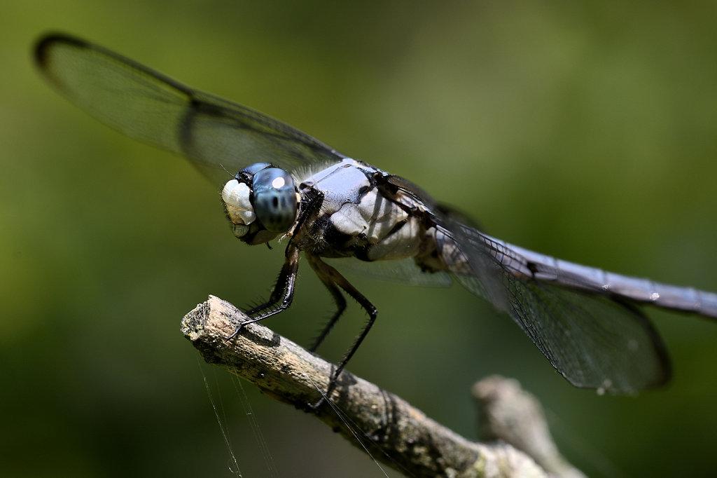 bluedragonfly-0866web.jpg