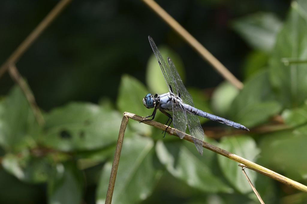 bluedragonfly-0915web.jpg