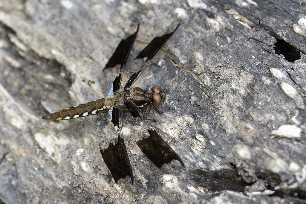 browndragonfly-0828web.jpg