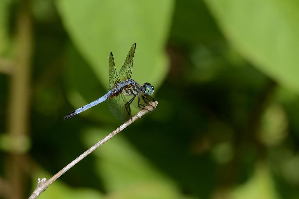 bluedragonfly-0922web.jpg