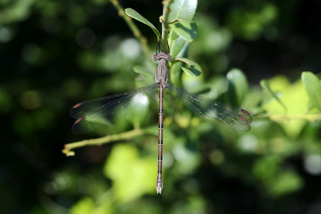 frontyarddragonfly-1595web.jpg