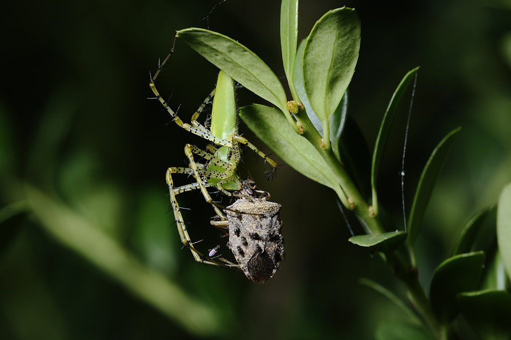 Green Lynx Spider with Brown Stinkbug 2